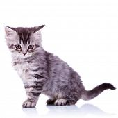 side image of a cute silver tabby baby cat looking at the camera on white background
