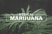 Medical Marijuana, Background Green, Marijuana Leaves, Marijuana Vegetation Plants Hemp, Cultivation poster