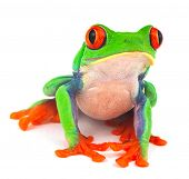 red eyed treefrog macro isolated exotic frog curious animal bright vivid colors Agalychnis calydrias