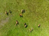 Aerial View Of Grazing Horses On A Meadow. Beautiful Countryside Scenery With Horses From Above. Sce poster