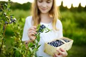 Cute Little Girl Picking Fresh Berries On Organic Blueberry Farm On Warm And Sunny Summer Day. Fresh poster