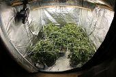 Marijuana. Growing Marijuana and Cannabis. Marijuana Grow Tent. Cannabis farm indoors.  poster