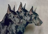A portrait of Three Generations of Great Dane Dogs