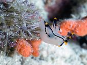 image of flatworm  - The nudibranch mollusc - JPG