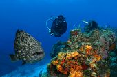 Huge Black Grouper and Scuba Diver