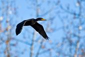 Pelagic Cormorant (Phalacrocorax pelagicus) in flight.