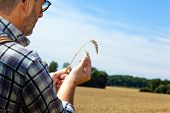 a farmer checks his fields in agriculture. mature wheat field in summer.
