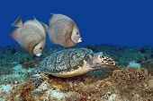 Pair of Gray Angelfish Swimming with Hawksbill Turtle