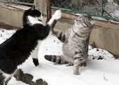 picture of flogging  - two fighting young cats - JPG