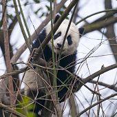 Young giant panda bear in tree