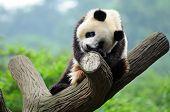 Giant panda bear in a tree