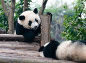Two playing giant panda bears