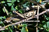 picture of hopper  - Close up of big grass hopper in scrub - JPG