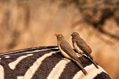 Two Redbilled Oxpeckers