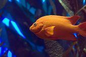 Garibaldi Fisch