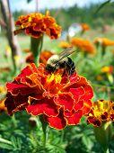 Bee And Marigold