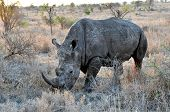 Rhinoceros In The Savannah