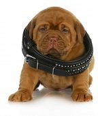 puppy growth - dogue de bordeaux puppy wearing dog collar that is too big - 4 weeks old