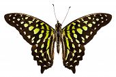 Butterfly Species Graphium Agamemnon