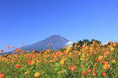 Mt.fuji  And Cosmos