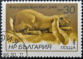 BULGARIA - CIRCA 1986: A stamp printed in Bulgaria shows English lop-eared rabbit circa 1986