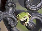 Treefrog On Scrollwork