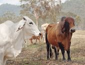 picture of brahma-bull  - Grey white brahman cow with red brown zebu brahma bull with australian landscape background - JPG