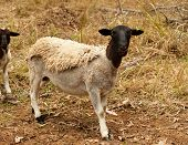 Black head dorper sheep live animal