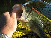 stock photo of bass fish  - My husband caught this big mouth bass - JPG