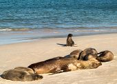Small Baby Seal Among Others On Beach