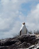 image of booby  - Nazca booby is seabird famous for living on Galapagos Islands National Park in Ecuador - JPG
