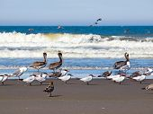 A Variety Of Seabirds At The Seashore Featuring Pelicans