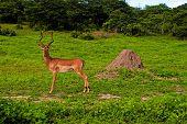 Wild Antelope Impala Male (South Africa)
