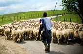 stock photo of mustering  - Shepherd with his sheep on rural road - JPG