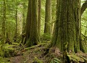 Western Red Cedar Rainforest
