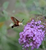 picture of moth  - Common Clearwing  Sphinx Moth Or Hummingbird Moth - JPG
