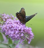 Red-Spotted Purple Admiral Butterfly On The Butterfly Bush
