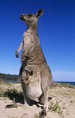 stock photo of kangaroo  - Kangaroo with joey in pouch on beach - JPG