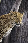 Leopard (Panthera Pardus) standing beside tree