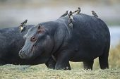 Hippopotamus (Hippopotamus Amphibius) with birds on back