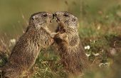 picture of marmot  - Two Marmots on meadow - JPG