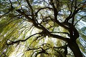 picture of weeping willow tree  - bole and branches of a weeping willow in autumn - JPG