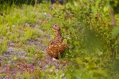 image of taimyr  - Arctic partridge female in taimyr tundra - JPG