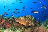Dusky Grouper (Epinephelus marginatus)  fish in Mediterranean Sea