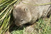 picture of wombat  - Wombat - JPG