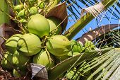 Green Coconut On Coconut Tree, Closeup