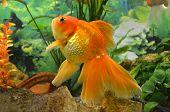 aquarium goldfish carp