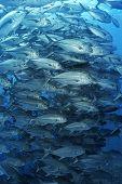 Large school of bigeyed trevally fish