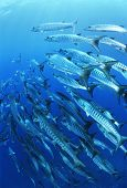 pic of barracuda  - School of blackfin barracuda fish - JPG