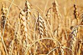 Wheat. Selective Focus